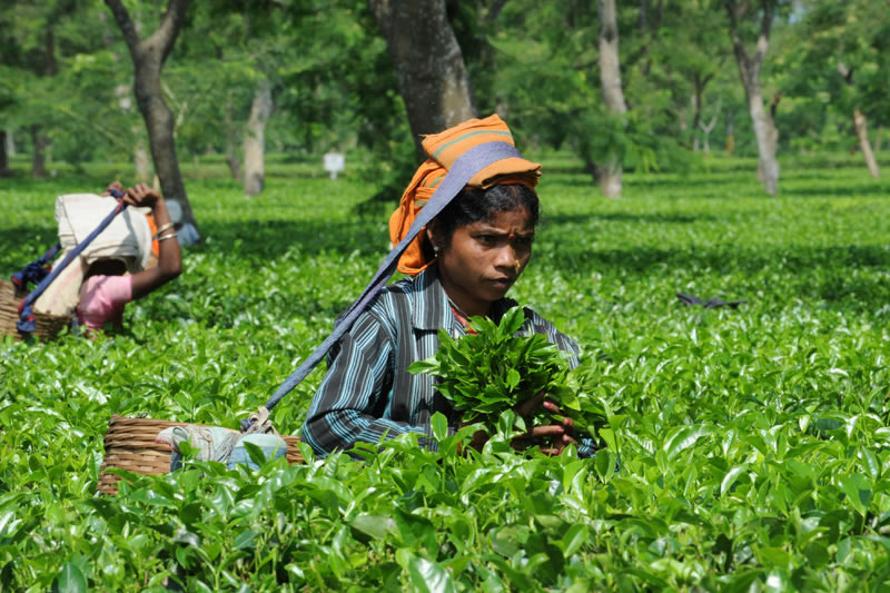 Millionen Adivasi arbeiten dort wie Sklaven in zermürbender Akkordarbeit unter gleißender Sonne.