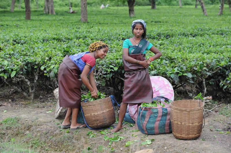 Kinder-helfen-beim-Pfluecken-des-Tees-Assam-20130930